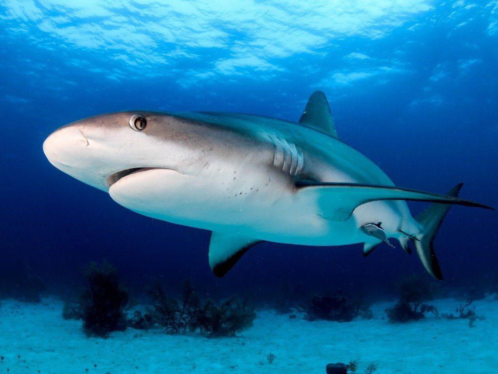 shark diving in florida