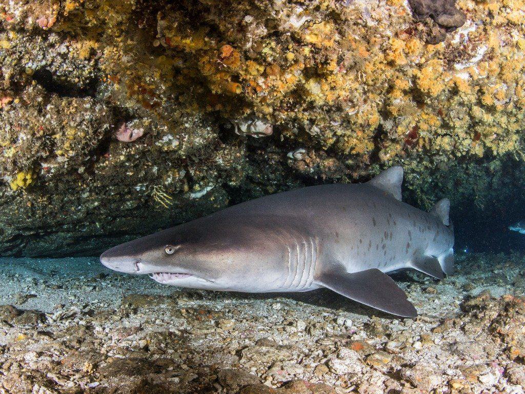 protea island shark diving